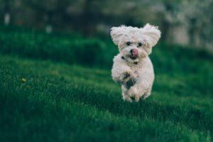 bichon frise running